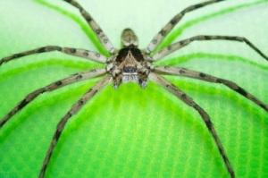 spider_cane
