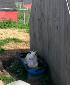 Sometimes you just need to go sit in your trough and chillax.