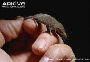 The pygmy shrew. (Way cuter than a human prince.)
