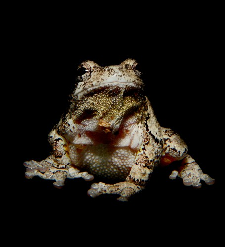 The Gray Tree Frog (nocturnal). One of the many stunning portraits by photographer Traer Scott in Nocturne.