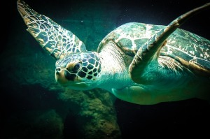 Sea turtle (photo from Pixabay--thanks.)